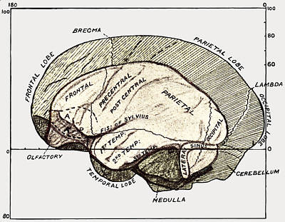 Human And Gorilla Brains Poster by Sheila Terry