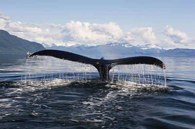 Humback Whale Diving With Tail Flukes Poster
