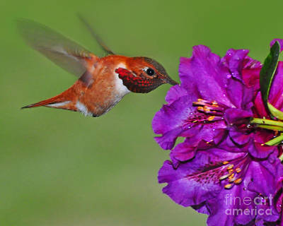 Poster featuring the photograph Hummer N Blooms by Jack Moskovita