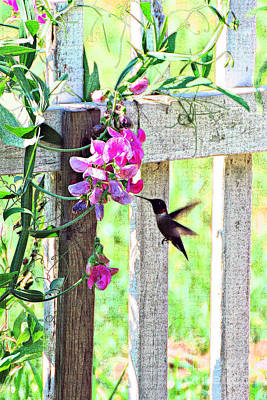 Humming Bird And Sweet Pea Poster by Lila Fisher-Wenzel