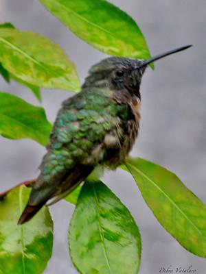 Hummingbird Gem 4 Poster by Debra     Vatalaro