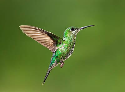 Hummingbird In Flight Poster by Hali Sowle