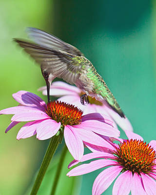 Hummingbird On Coneflower Poster by Susi Stroud