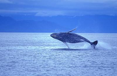 Humpback Whale Breach Poster by John Pitcher