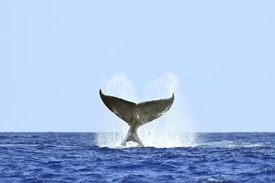 Humpback Whale Fluke II Poster by Rick Gaffney - Printscapes