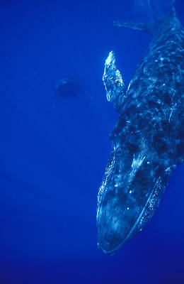 Humpback Whale Singer And Joiner Maui Poster