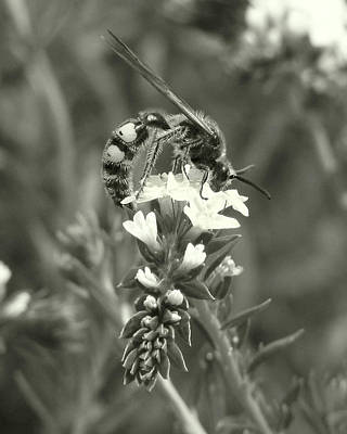Hunter Wasp On Heliotrope Poster