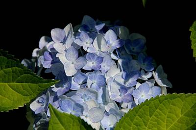 Hydrangea In The Morning Poster