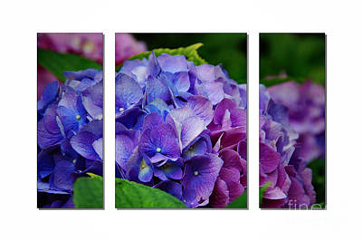 Hydrangea Shades Of Blue And Pink Poster by Elaine Manley