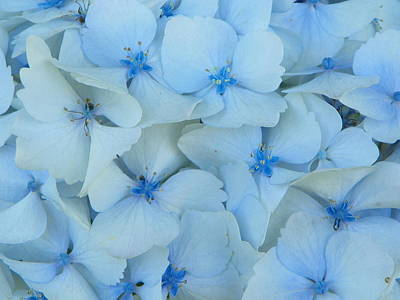 Hydrangeas Hortensias Poster by Sandra Lira