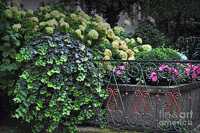 Hydrangeas Salzburg Poster by Mary Machare