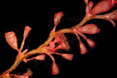Hydroid (campanularia Flexuosa), Lm Poster by Dr Keith Wheeler