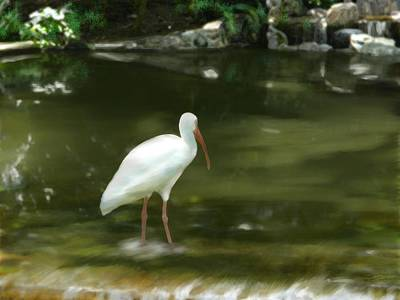 Ibis In Water Poster