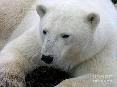 Ice Bear Poster by Anne Gordon