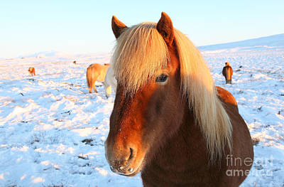 Poster featuring the photograph Icelandic Horse by Milena Boeva
