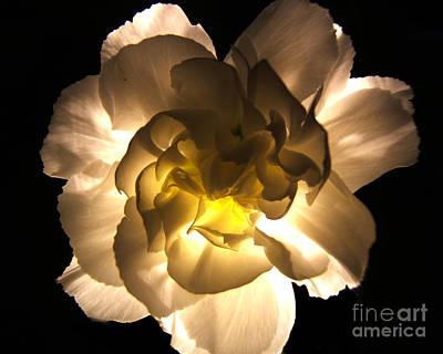 Illuminated White Carnation Photograph Poster