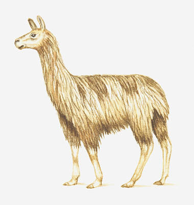 Illustration Of A Llama Poster