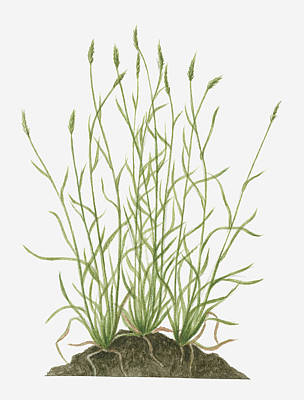 Illustration Of Anthoxanthum Odoratum (sweet Vernal Grass) Wild Grass With Flower Spikes Growing On Mound Poster