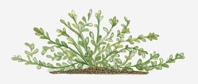 Illustration Of Bacopa (waterhyssop) Bearing Succulent Oblanceolate Green Leaves On Creeping Stems Poster by Joanne Cowne