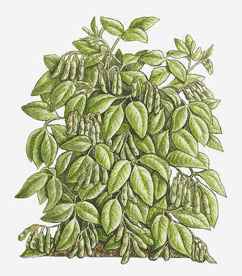 Illustration Of Glycine Max (soya Bean) Bearing Trifoliolate Green Leaves And Pods Hanging From Stems Poster by Debra Woodward
