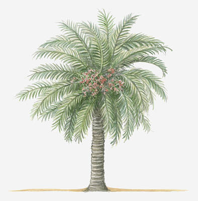 Illustration Of Phoenix Canariensis (canary Island Date Palm) Bearing Fruit Amid Green Palm Leaves Poster by Dorling Kindersley