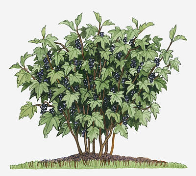 Illustration Of Ribes Nigrum (blackcurrant) Bearing Edible Fruits On Long Upright Stems With Green Leaves Poster by Dorling Kindersley