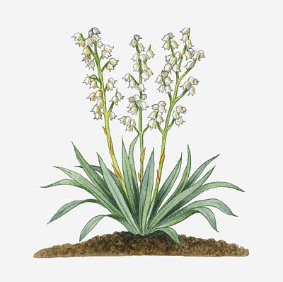 Illustration Of Yucca Baccata (datil Yucca, Banana Yucca) Bearing White Hanging Flowers On Long Stems With Long Green Leaves Poster
