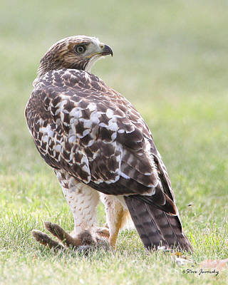 Immature Red Tail Hawk Poster by Steve Javorsky