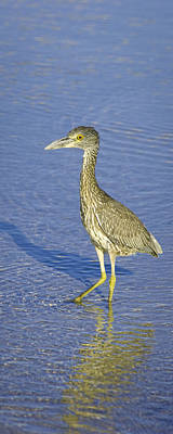 Immature Yellow Crowned Night Heron  Poster by Patrick M Lynch