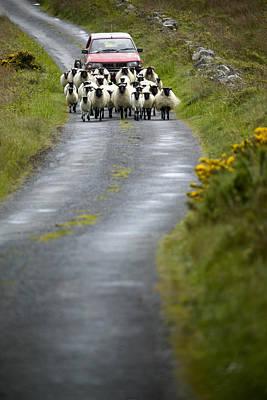 In Irish Shepherd Herds His Flock Poster by Pete Ryan
