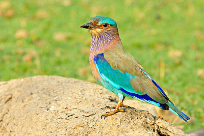 Indian Roller Poster by Copyright@JGovindaraj