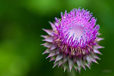 Indiana Purple Thistle Flower Poster by Melissa Wyatt