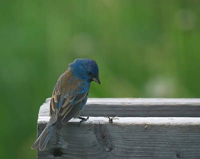 Indigo Bunting And Friend Poster