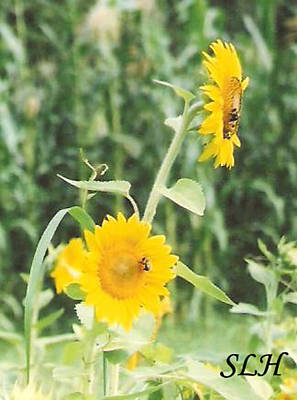 Insect On Sunflowers Poster