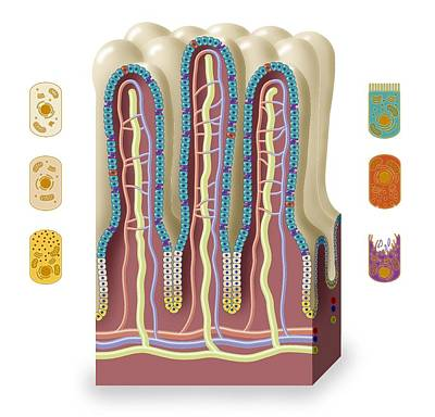 Intestinal Villi Anatomy, Artwork Poster by Art For Science