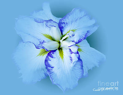 Iris In Blue Poster