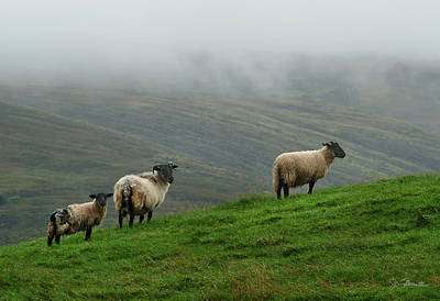 Irish Sheep In The Mist Poster by Joe Bonita