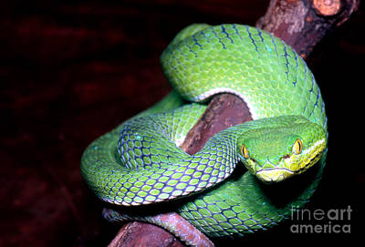 Island Pit Viper Poster