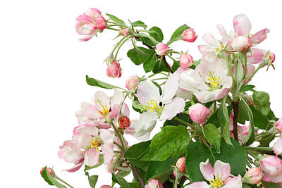 Poster featuring the photograph Isolated Pink Apple Flowers by Aleksandr Volkov