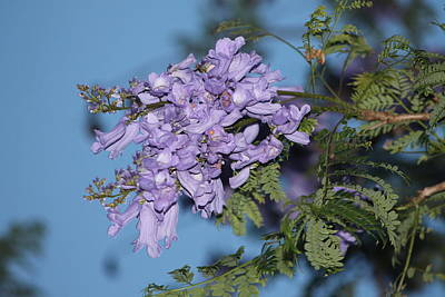 Poster featuring the photograph Jacaranda Mimosifolia by Elizabeth  Doran
