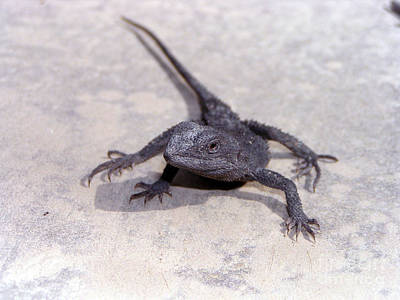 Jacky Lizard  Poster
