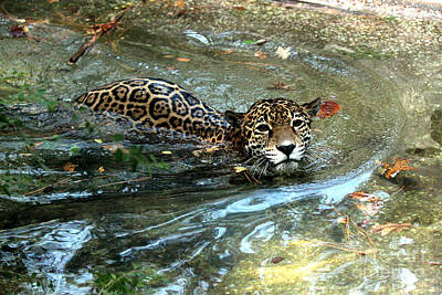 Poster featuring the photograph Jaguar In For A Swim by Kathy  White