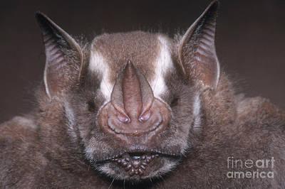 Jamaican Fruit Bat Poster by Dante Fenolio
