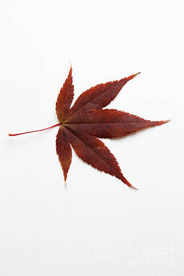 Japanese Maple Leaf Poster by Photo Researchers