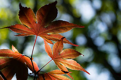 Japanese Maple Leaves Poster by Lori Coleman