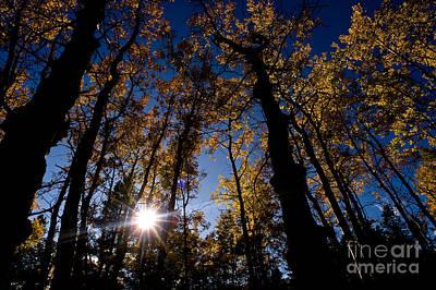 Jasper - Autumn Aspens Poster