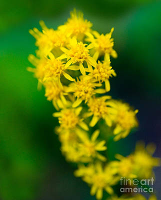 Jasper - Canada Goldenrod Wildflower Poster by Terry Elniski