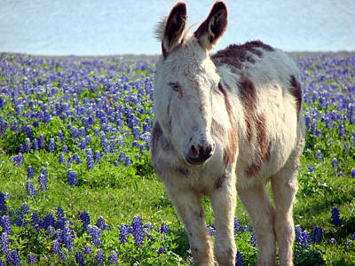 Poster featuring the photograph Jesus Donkey In Bluebonnets by Linda Cox