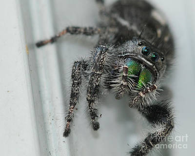 Jumping Spider Poster by Paul Ward