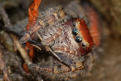 Jumping Spider Portrait Poster